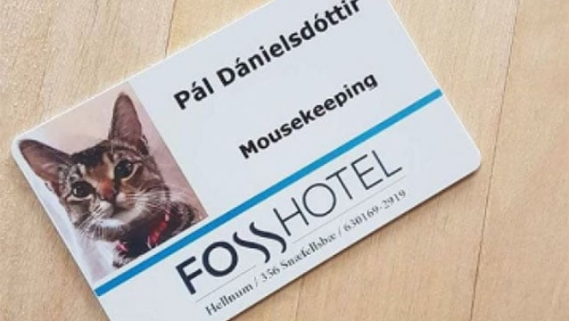 Otelde çalışan kedinin zorlu görevi!